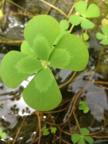 Marsilea the Water clover